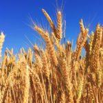 エルニーニョ現象の影響は現時点では限定的な見込み:作物価格は安定か