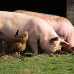 豚肉供給の安定化を模索するベトナム