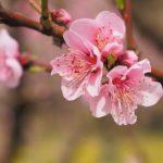 最長の季節学は日本の桜開花記録